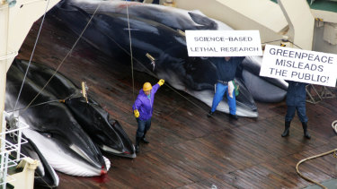 Whales are butchered on the deck of Japan's Nisshin Maru factory ship in a file picture as the whalers hold up placards in defiance at protesters.