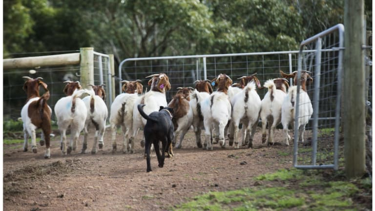 Goat theft is a 'significant issue' for regional Queensland police.