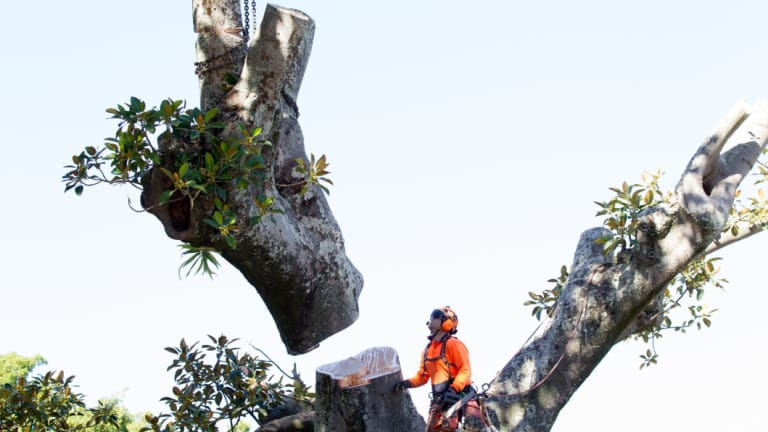 Tree loppers cut branches off the Anzac Parade Moreton Bay fig trees scheduled for destruction to make room for the light rail.