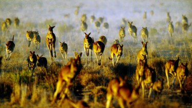 A mob of grey kangaroos on the run through Oxley Station in Macquarie Marshes in the Western Plains of New South Wales.