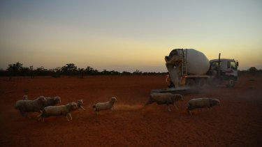 No break in the weather: sheep rush to eat from a trough filled with fodder from a converted cement truck used by Stuart Le Lievre on his Yathonga Station beside the Darling River near the town of Tilpa.