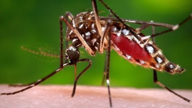 Local scientists believe mosquitoes are most likely responsible for transmitting the Buruli ulcer to humans.