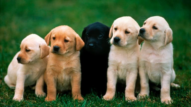 Scammers target people looking for a cute puppy.