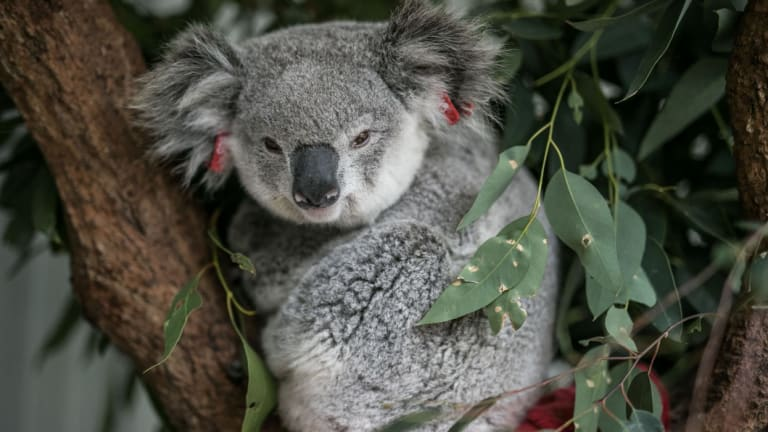 Incentives could be offered to households in south-east Queensland to keep dogs from koalas.