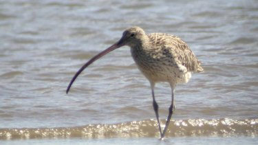 The Eastern Curlew one of the migratory seabirds threatened by the Cleveland's Toondah Harbour plans.
