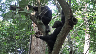 Wild chimpanzees eat a tortoises, whose hard shell was cracked open against tree trunks before the meat was scooped out, at the Loango National Park in Gabon.