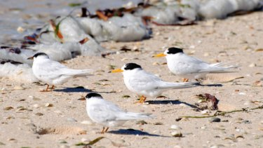 Adult Australian fairy terns last year.