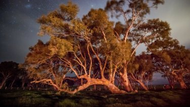 A centuries old eucalyptus known as a marker tree on the sacred land near the birthing tree.