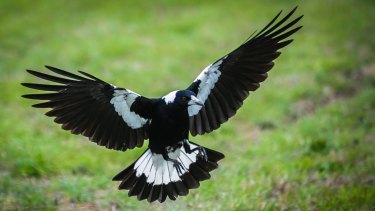 A swooping magpie in Canberra. It's that time of the year again.