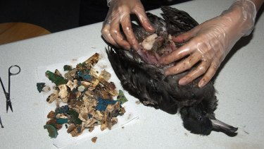 Examination of a dead shearwater on Lord Howe Island reveals its stomach to be loaded with plastic fragments.