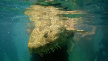A Wobbegong Shark Bit Surfer At Manly