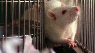 Rats and mice are commonly used for medical studies.