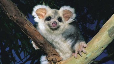 Greater glider: New plans to increase native logging in coastal NSW will threaten a range of marsupial species.