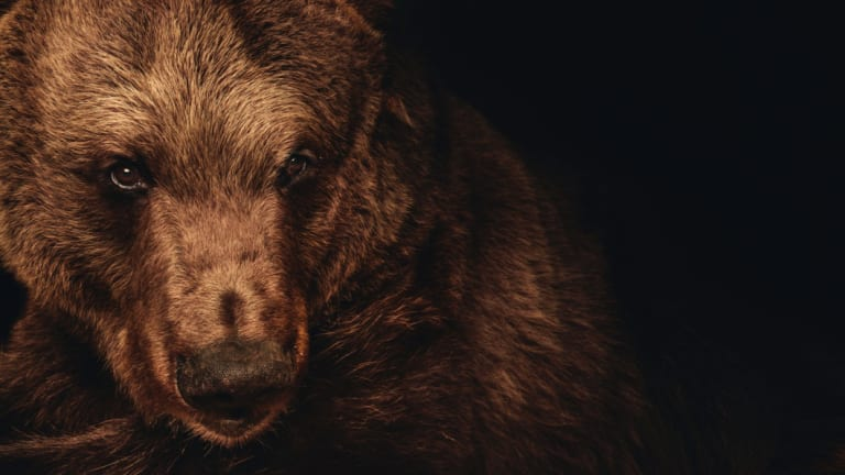 Darkle the brown bear, who was the last of the original animals which helped establish Canberra's zoo.