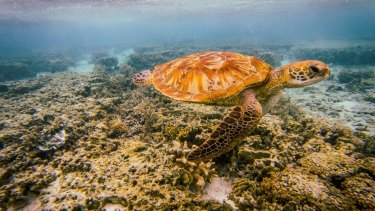 A sea turtle off Lady Elliot Island, at the Great Barrier Reef.