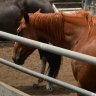 Drought-stricken horses to head back to Echuca