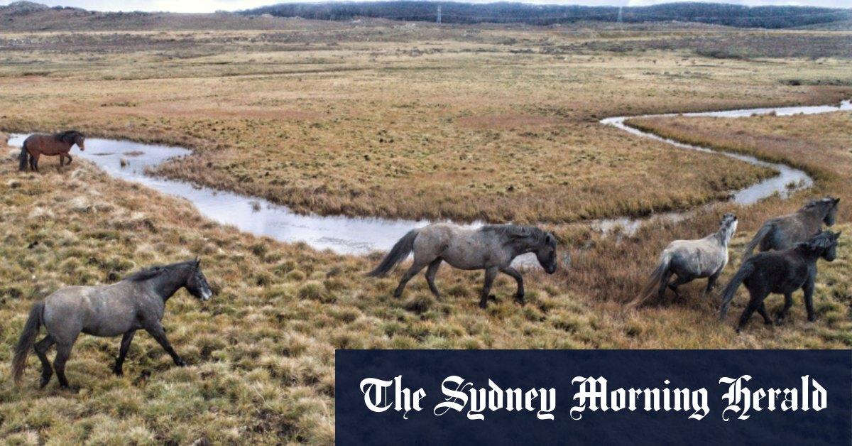 Ley threatens to override NSW on Kosciuszko feral horses