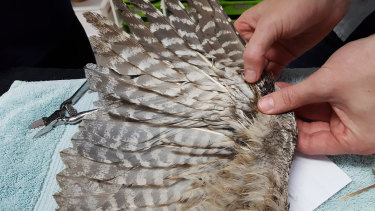 The repaired wing of a tawny frogmouth that received a feather transplant.