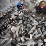 Study names Australia as a major source for shark fin trade