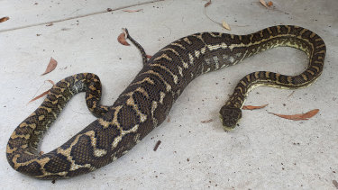 A large python was discovered after eating a pet cat on the Sunshine Coast.