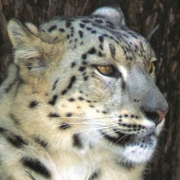 Sheva the snow leopard lived at the Canberra National Zoo and Aquarium for 16 years before passing away aged 19 in late 2018.