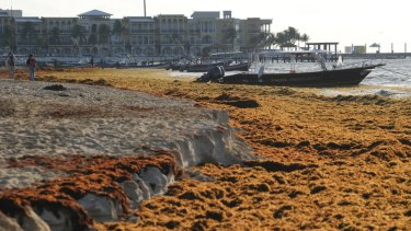 Sargassum seaweed covers the beach in Playa del Carmen, Mexico in May.