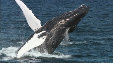 Scientists say humpback whales, such as this one off the coast of Massachusetts, would only bite a human accidentally while grazing for other food.