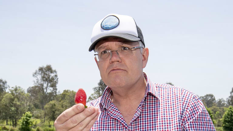 Prime Minister Scott Morrison eats a strawberry during a visit to a farm in Chambers Flat on Monday.