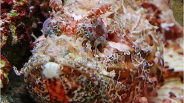 Stonefish usually lie motionless, partially buried around coral, rocky reef, rubble or aquatic plants.