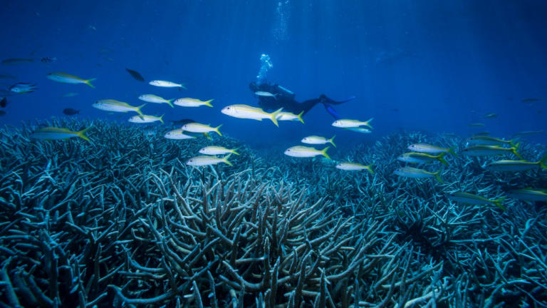 Higher ocean temperatures are responsible for coral bleaching at the Great Barrier Reef.