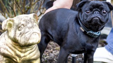 Pug dog Edda is pictured in Dusseldorf, Germany.