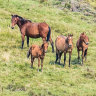 Protected wild horses chew ever-closer to Canberra's water sources