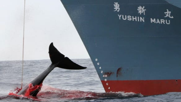 'Healthy enough': Japan wants an end to commercial whaling ban