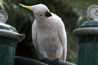 Sulphur-crested cockatoos learn skills from their peers - including how to open and scavenge from bins.