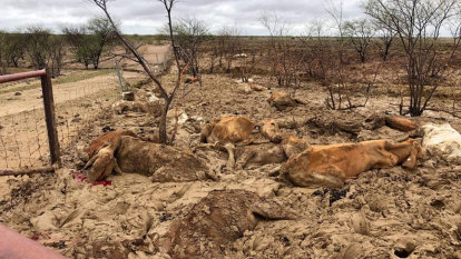 Queensland graziers rise from the mud after flood