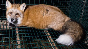 A fox in a cage at a fur farm in Finland.