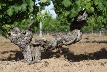Chateau Tanuda's ancient vines.