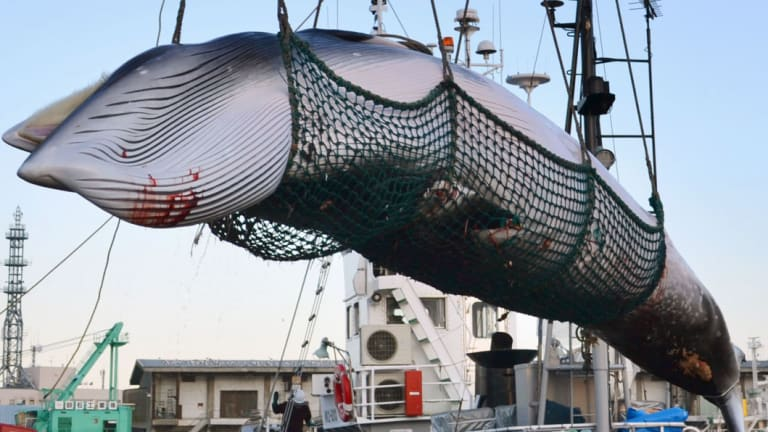 A minke whale, slaughtered by Japanese whalers, is unloaded in Kushiro on the island of Hokkaido.