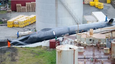 Big as a bus: A massive whale, believed to be a blue whale, that was slaughtered in Iceland.