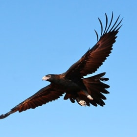 Magpie v eagle: When the feathers fly, who would win?