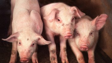 Farmers urged to ramp up biosecurity as African swine fever looms