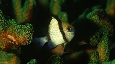 Newcomers: A headband damselfish swims amid a hard coral species now found off waters near Sydney.