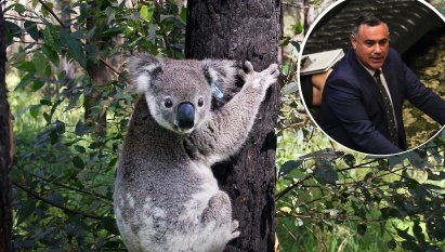 Barilaro ignored pleas to protect koalas after bushfires, insisted logging continue