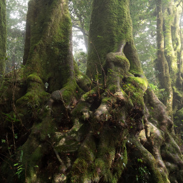Antarctic beech (Nothofagus moorei), a link to the ancient forests of Gondwana, in Springbrook National Park in Queensland.