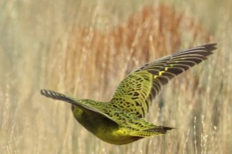 The 2017 image of the night parrot.