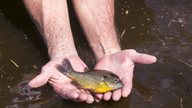 A sunfish caught by hand in the flood waters in Brittons Neck, South Carolina.