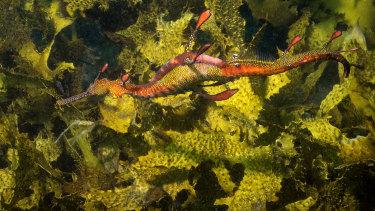 A weedy sea dragon off Yarra Bay.