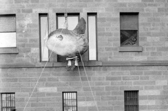 After being preserved by taxidermists in 1883, the huge sunfish specimen had to enter the museum gallery via the tallest available opening: an upstairs window.