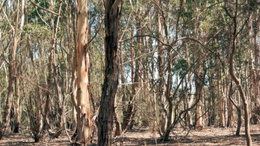 Trees in the outback may fare better than those in urban centres, at high risk of dieback over coming decades.