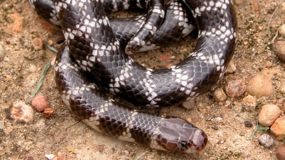 Newly discovered venomous snake in far north Queensland could be under threat